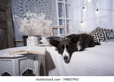 Welsh corgi cardigan is resting on the bed, portrait, front