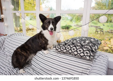 Welsh Corgi Cardigan rests on the sofa near window