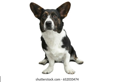 Welsh Corgi cardigan sits isolated on a white background. concept Pets.