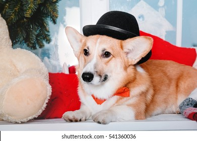 Welsh Corgi dog breed wearing a bow tie and bowler hat