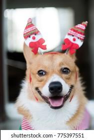 Welsh  Corgi dog with Christmas costume