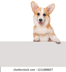 Welsh corgi dog looking over a wall  isolated on white background