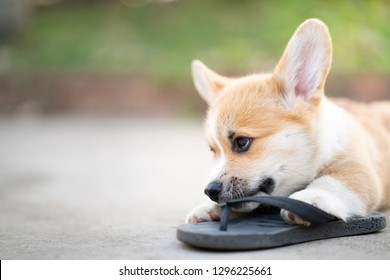 Welsh corgi dog pembroke puppy playing owners shoes or flip flop