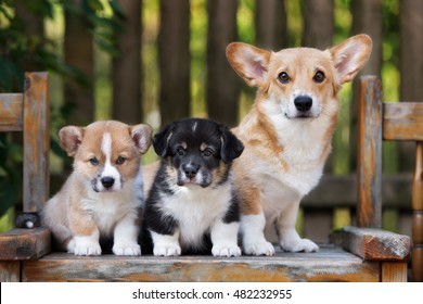 welsh corgi dog posing with two puppies