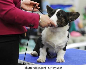 Welsh Corgi at dog show, Moscow.