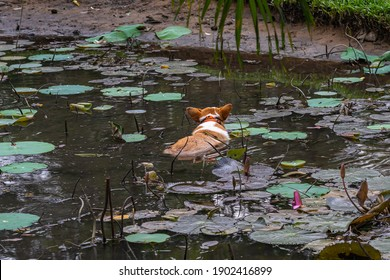 Welsh Corgi dog swimming in the lilypad pond in garden