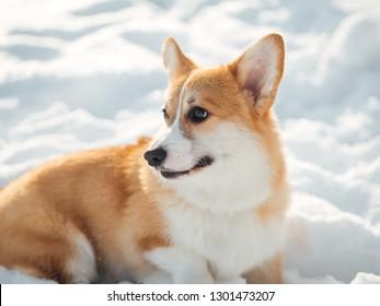 welsh corgi dog walkin in winter park