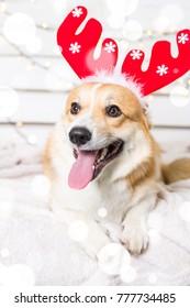 Welsh Corgi Dog wearing Christmas costume. Year of the dog concept