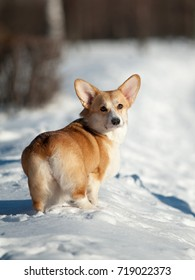 welsh corgi dog in winter