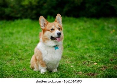 A welsh corgi named Austin sits on a green lawn and waits for a command. The dog stuck out its tongue impatiently. Close up photoshoot outdoors in spring.