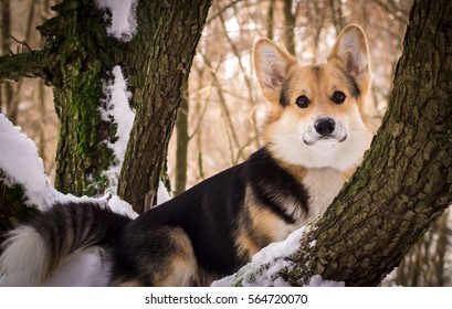 Welsh Corgi on a walk in the winter forest