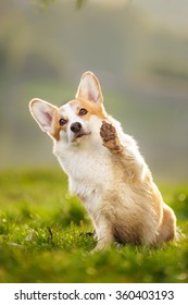 Welsh corgi paw up high five on green grass outdoor in park at walk
