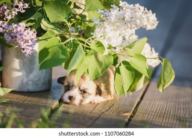 Welsh corgi pembroke 3 weeks old puppy portrait with flowers