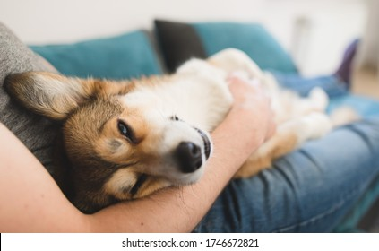 Welsh corgi pembroke dog being cuddled by the owner on the sofa