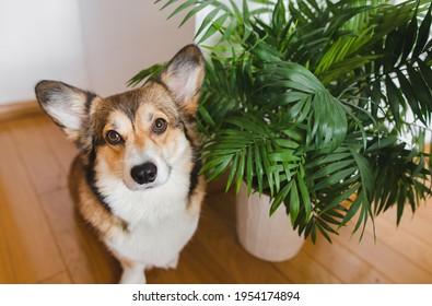 Welsh corgi pembroke dog and chamedora elegans home plant in a pot