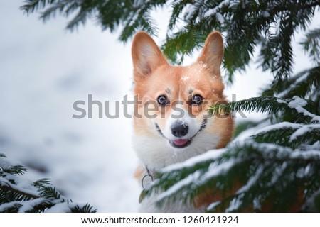 welsh-corgi-pembroke-dog-winter-450w-126