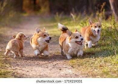 Welsh Corgi Pembroke dogs on a walk in the spring Park