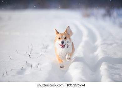 Welsh corgi pembroke is having a walk in the snowy fields
