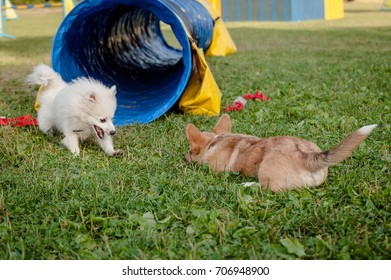 Welsh Corgi Pembroke and Japanese Spritz puppies playing on the grass
