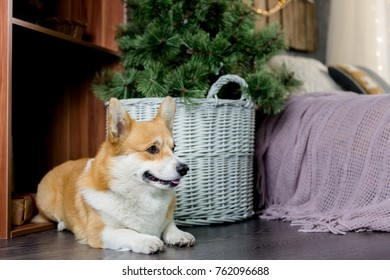 Welsh corgi pembroke laying on the floor next to a basket with a christmas tree