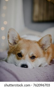 Welsh corgi pembroke laying on the bed vertical