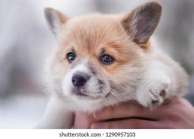 Welsh corgi pembroke little cute puppy on hands carried