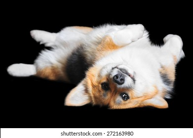 Welsh Corgi Pembroke lying on the back, isolated