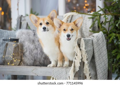 Welsh corgi pembroke on the bench winter theme, waiting for christmas