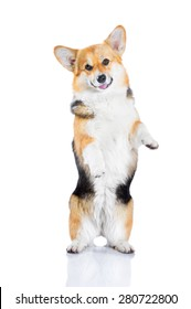 Welsh Corgi Pembroke performs tricks, isolated on white
