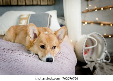 A welsh corgi pembroke puppy laying on the bed looking sad