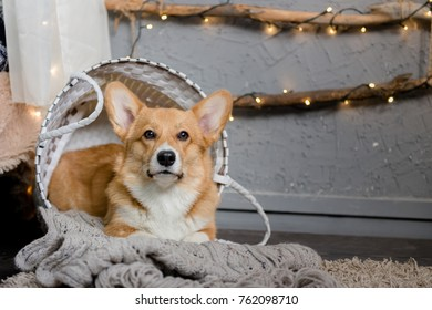 A Welsh corgi pembroke puppy laying inside the basket on the floor