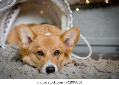 A Welsh corgi pembroke puppy laying inside the basket on the floor looking sad