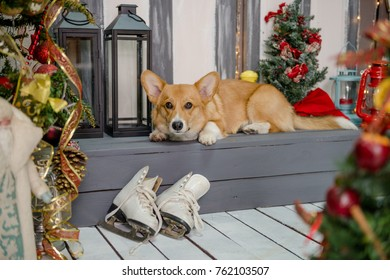 Welsh corgi pembroke puppy laying on a porch decorated for Christmas