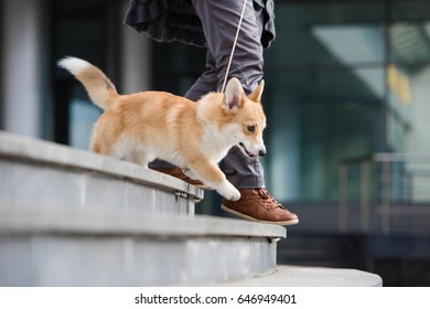 Welsh Corgi Pembroke puppy on the stairs