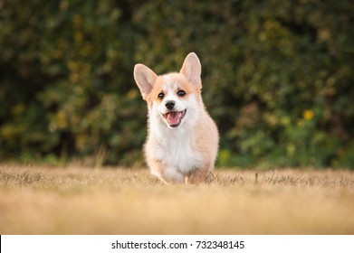 Welsh corgi pembroke puppy playing in the yard