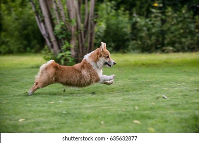 Welsh corgi pembroke puppy running in the garden chasing a toy
