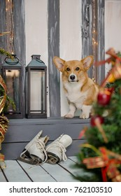 Welsh corgi pembroke puppy sitting on a porch decorated for Christmas