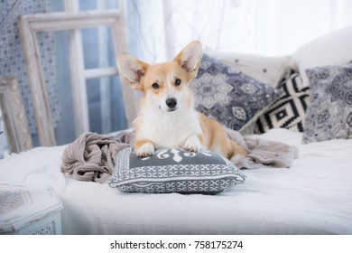 Welsh corgi pembroke is resting on the bed surrounded by pillows, studio portrait