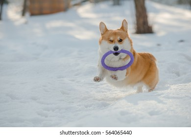 A welsh corgi pembroke running in the snow holding a puller in its mouth with one eye closed