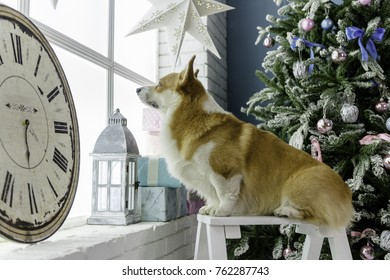 Welsh corgi pembroke sitting on a little bench in front of a Christmas tree looking out of the window