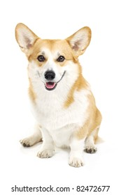 Welsh corgi pembroke sitting in a studio