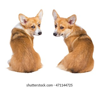 Welsh corgi pembroke in studio in front isolated on white background