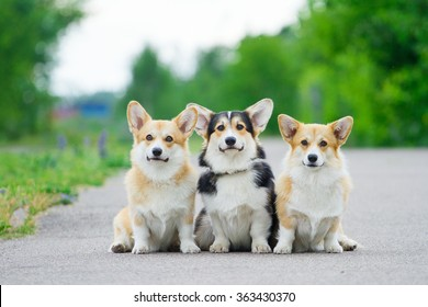 Welsh Corgi Pembroke, three Welsh Corgi Pembroke.
