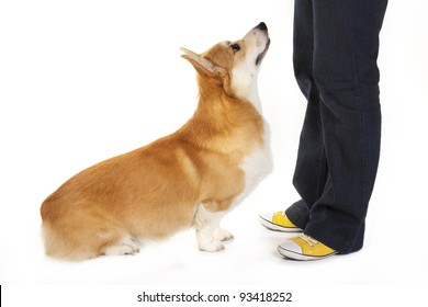 Welsh corgi pembroke training