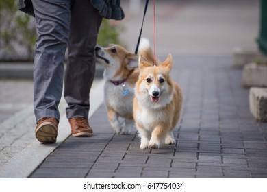 Welsh Corgi Pembroke is walking on the leash in the city