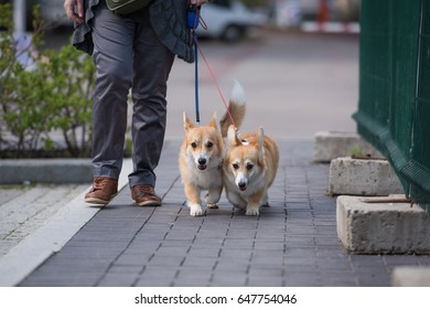 Welsh Corgi Pembroke is walking on the leash in the city