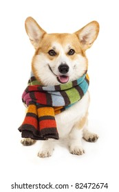 Welsh corgi pembroke wearing stripe scarf