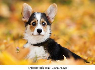 welsh corgi puppy in autumn leaves