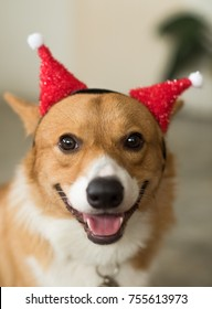 Welsh Corgi puppy with red christmas hat
