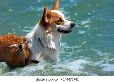Welsh Corgi - The smartest dog ever